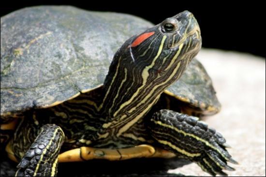 Quel est le nom cette tortue d'Amérique de plus en plus envahissante pour la France ?