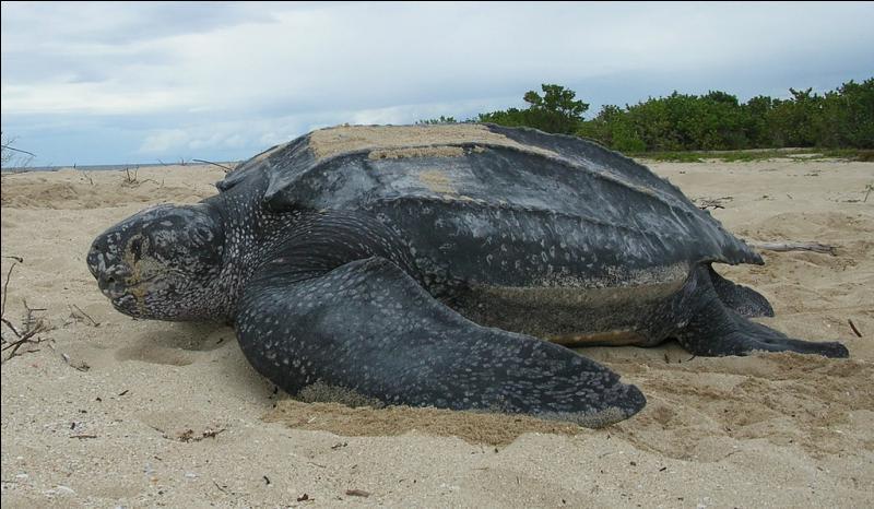 C'est la plus lourde des tortues, il s'agit de :