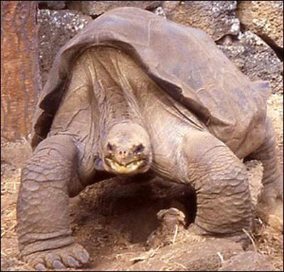 C'est la plus grande des tortues terrestres, comment s'appelle-t-elle ?