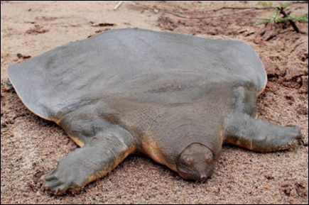 C'est une tortue à la carapace molle, de quelle tortue s'agit-il ?