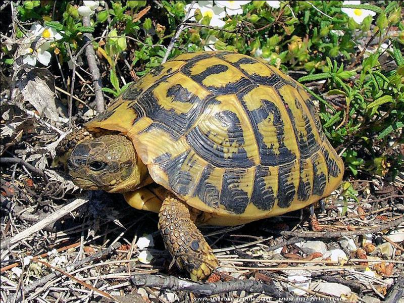 Une tortue de chez nous mais de plus en plus rare, comment s'appelle-t-elle ?