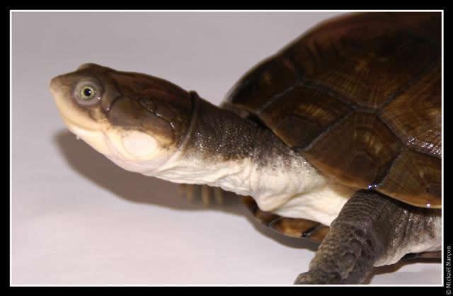 Une tortue d'eau de plus en plus appréciée comme animal de compagnie : de quelle tortue s'agit-il ?