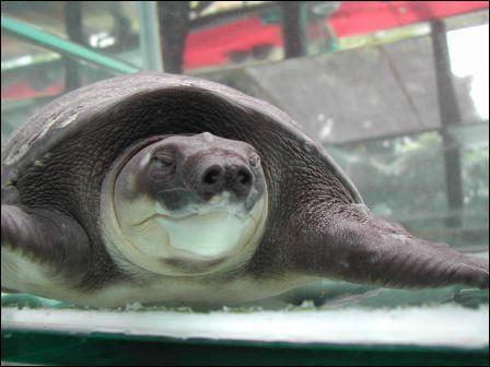 Quel est le nom de cette tortue frugivore qui a des nageoires à la place des pattes avants ?