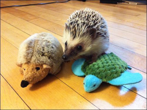 Là c'est simple, il y a deux peluches de hérisson et une de tortue marine !