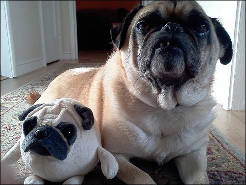 Là, c'est tellement facile que je me demande pourquoi je l'affirme, il y deux chiens sur la photo !