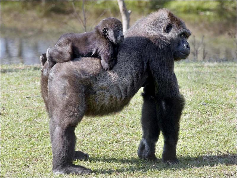 Ils sont mignons, ces deux chimpanzés, c'est une maman et son bébé !