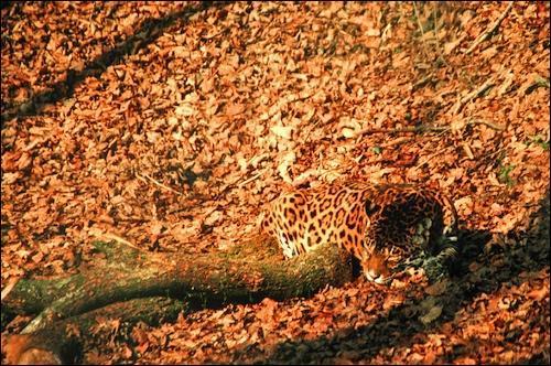 Il y a un jaguar sur cette photo !