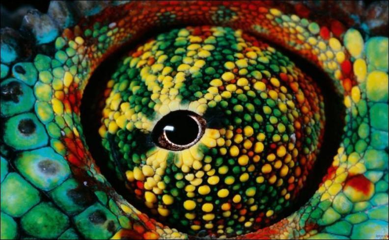 Cet oeil est celui d'un caméléon !