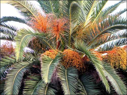 Que va-t-on découvrir sur le palmier Phoenix ?
