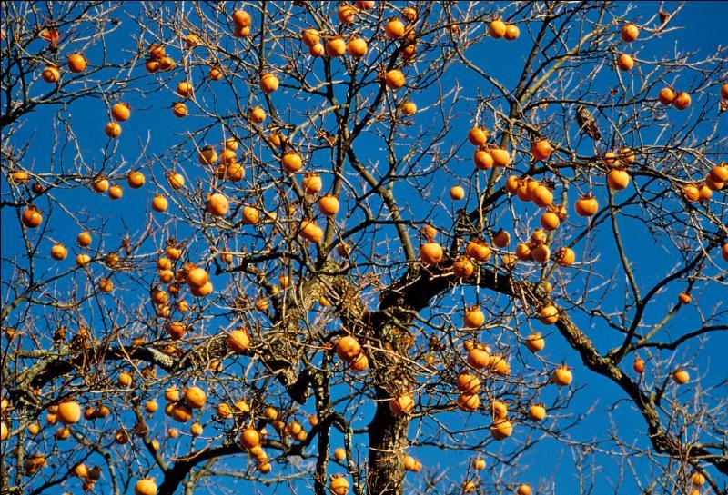Quel est le fruit du plaqueminier ?