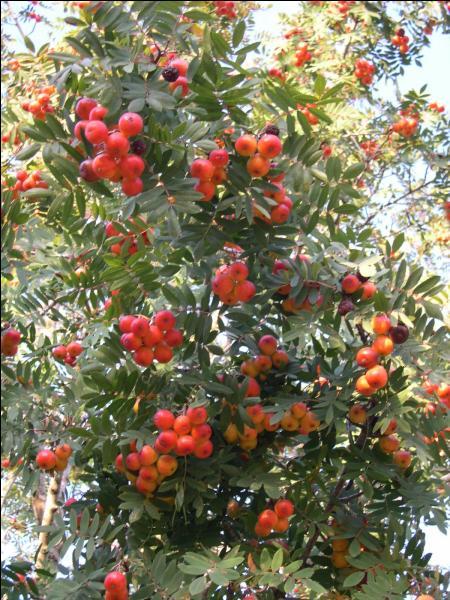 Quel est le nom du fruit du sorbier ?