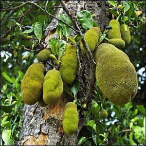 Arbre tropical cultivé pour ses fruits, les jaques.