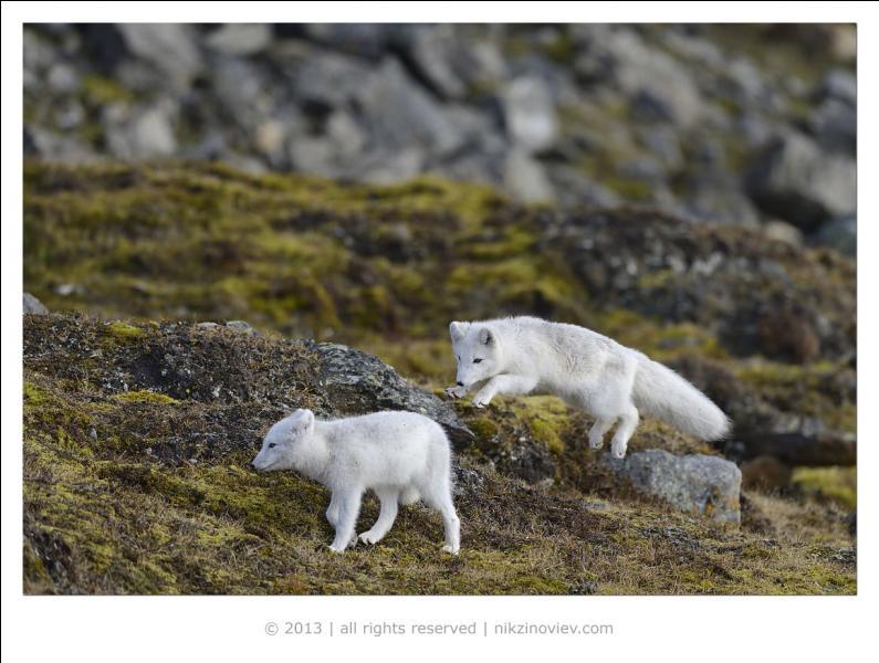 Le renard polaire est aussi appelé isatis !