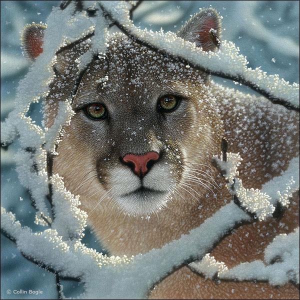 Le puma est aussi appelé  lion des montagnes  !