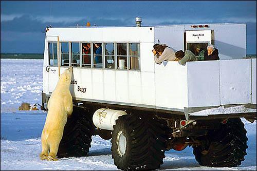 Vous voulez visiter Churchill et voir des ours polaires en liberté ? Oui, et bien partez pour le Canada et atterrissez ...