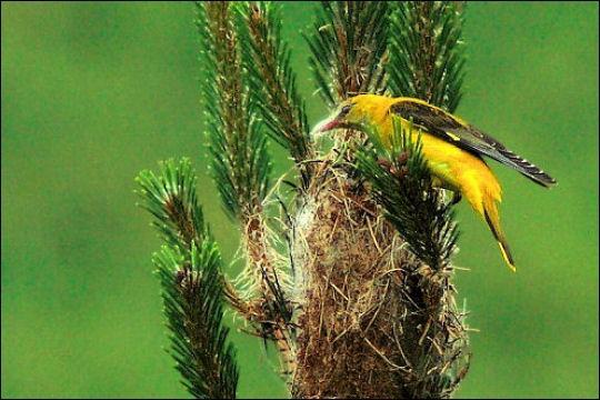 Quizz escadrilles d 39 oiseaux quiz oiseaux animaux monde for Oiseau jaune france