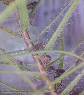 Agrandissez la photo. Ce sont des plantes herbacées carnivores avec un piège passif dont la substance collante est consommée par des -------, de la famille des Byblidaceae.