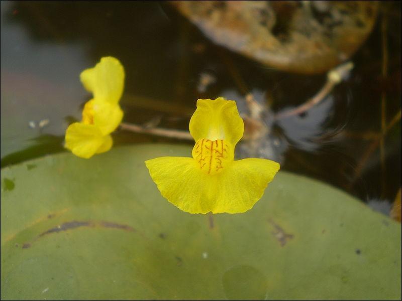Utricularia tenuicaulis flower, nom compliqué pour des plantes qui, selon les espèces, vivent en épiphytes dans une atmosphère humide, sur un sol humide ou dans un milieu aquatique. Leurs pièges sont appelés ------, et actifs.