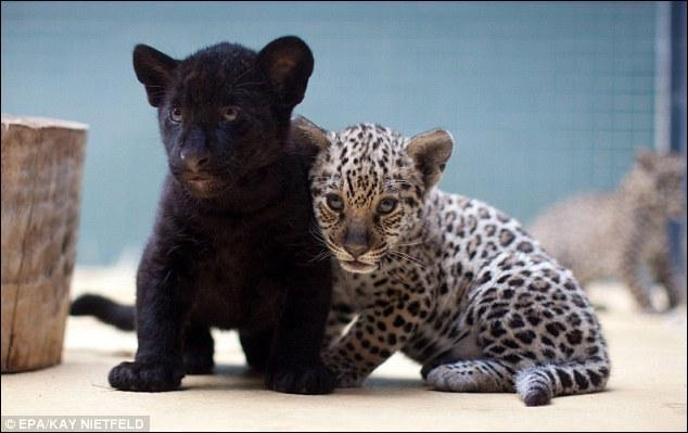 Dans la jungle amazonienne, il est parfois nécessaire de savoir courir très vite, surtout avec l'animal de gauche (adulte) aux fesses !