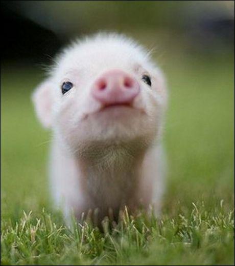 Le cochon se rapproche plus d'un aliment ou d'un animal ?