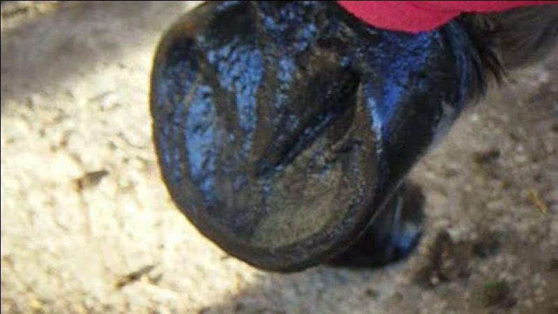 Le dessous du pied du cheval est constitué de :