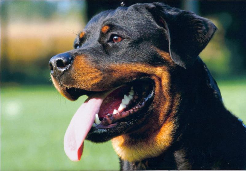 Quel est ce chien, dit de garde mais quand vous connaissez son caractère vous tombez sous le charme ?