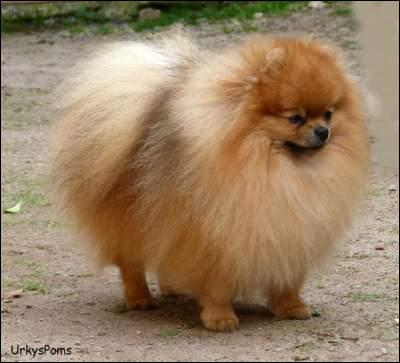 Quel est ce petit chien aux longs poils ?