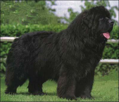 Quel est ce grand chien, bon nageur ?