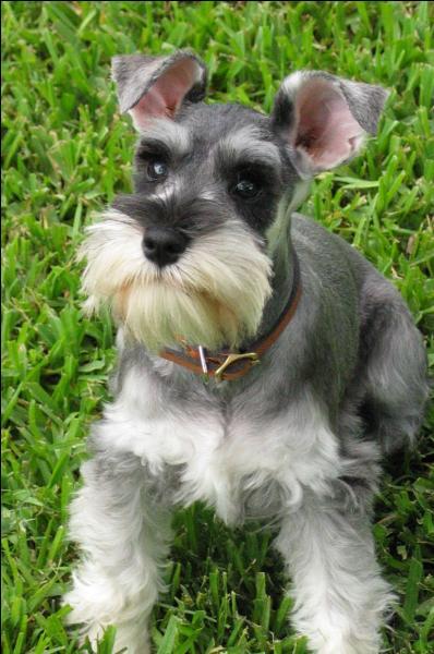 Quel est ce chien, qui a comme une moustache sur le museau ?