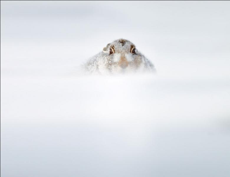 Cet animal peut être arctique, variable, ou de montagne !