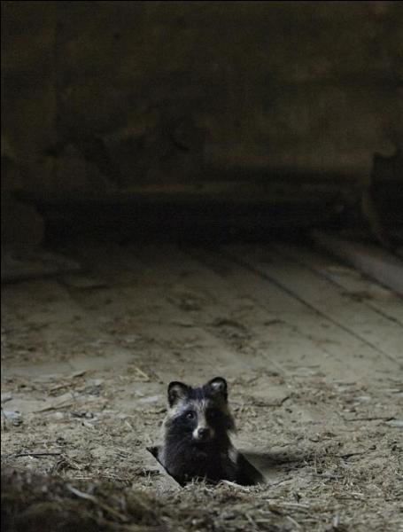 Cette petite frimousse de bandit fait penser aux fameux Rapetou de Disney, reconnais-tu l'animal ?
