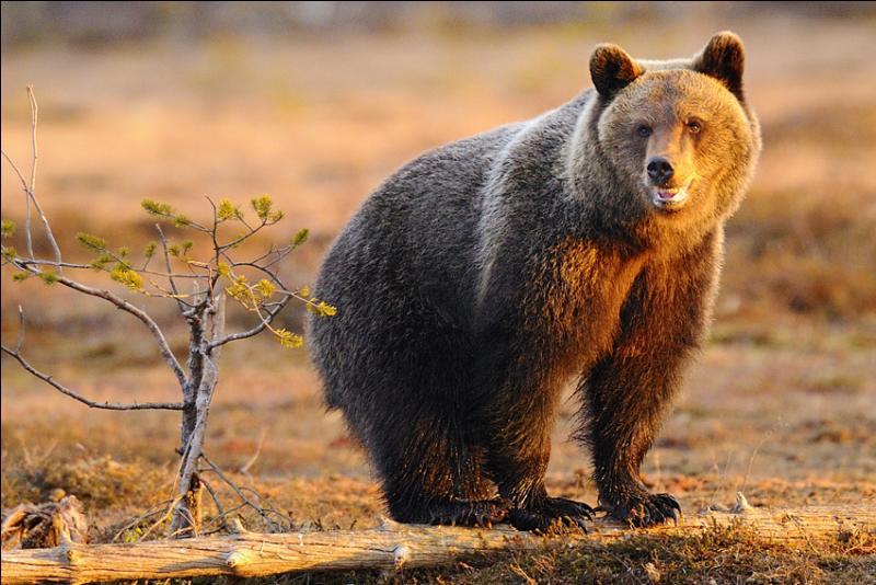 Ce proverbe du calendrier des bons laboureurs, en 1628, disait :  Si fait beau et luit Chandeleur, six ... se cache l'ours.