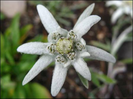 Comment nomme-t-on aussi l'edelweiss ?