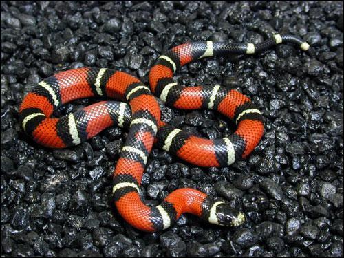 Serpent Noir et Jaune ce Serpent Rouge Noir et