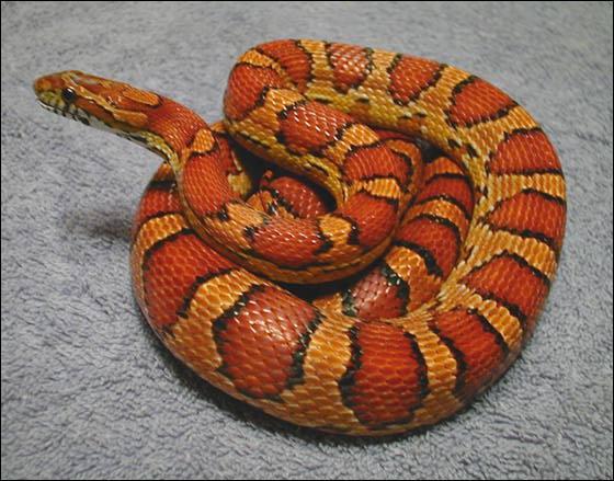 quizz les serpents non venimeux quiz monde reptiles serpents. Black Bedroom Furniture Sets. Home Design Ideas