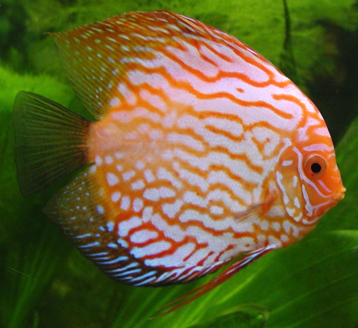 Quizz poissons d 39 aquarium d 39 eau douce quiz poissons eau for Poisson aquarium douce
