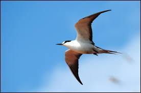 Combien de temps la sterne fuligineuse peut-elle voler sans jamais se reposer ?