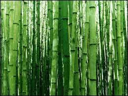 Certaines espèces de bambou sont capables de pousser par jour de...