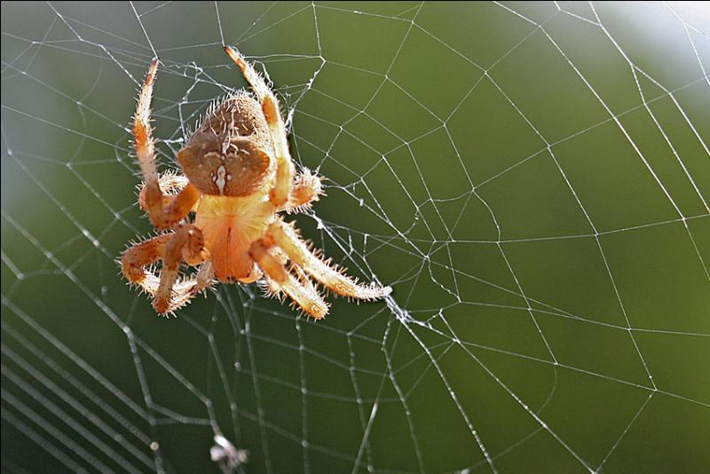 Laquelle de ces bébêtes n'est pas une  araignée  ?