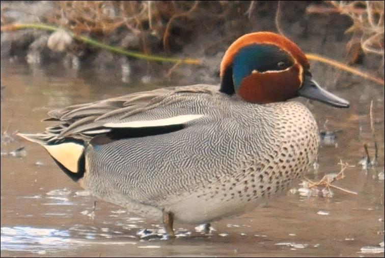 Lequel de ces oiseaux aquatiques n'est pas un  canard  ?