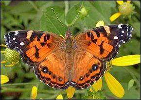 Qui n'est pas un  papillon  ?
