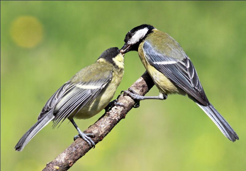 L'un de ces trois oiseaux n'est pas une  mésange . Lequel ?
