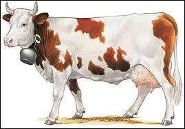 Un vache qui porte des prothèses aux pattes existe.