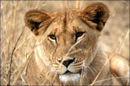 Les oreilles de la lionne sont plutôt :
