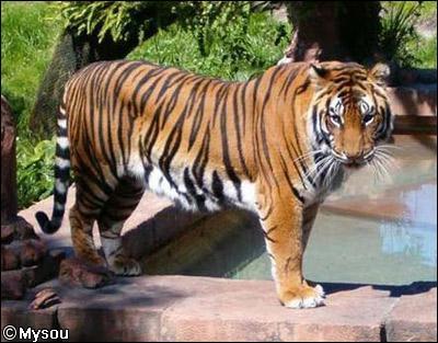 Quelle est la vitesse maximale du tigre ?