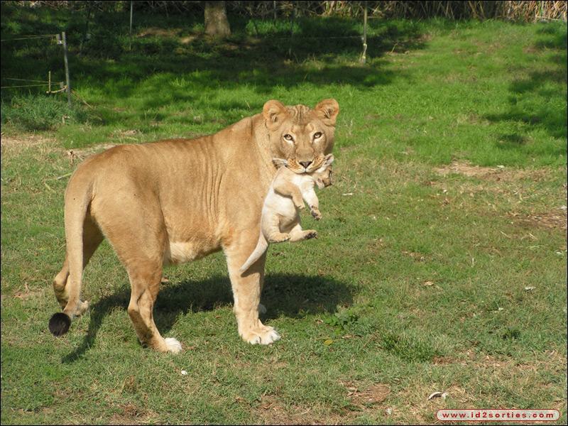 Quelle est la vitesse maximale des lionnes ?