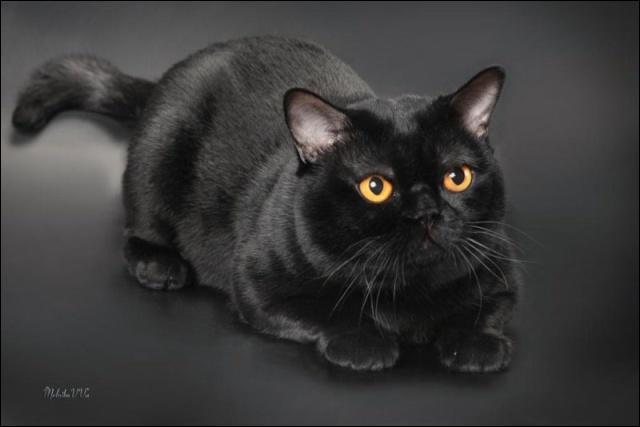 Voici trois races de chats noirs, cochez lintrus.