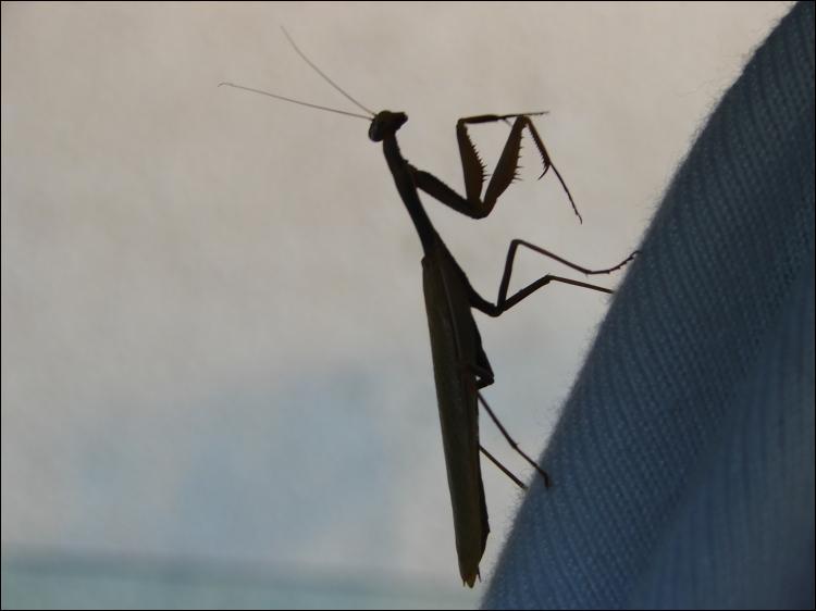 Je suis certain que tu connais cet insecte, c'est la mante religieuse !