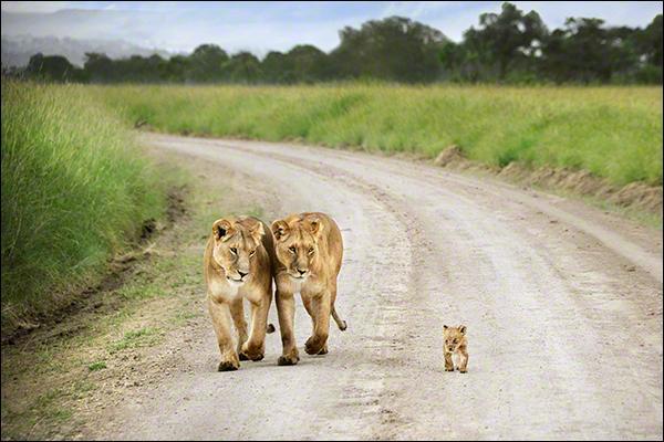 Imaginez que le lionceau parle, que pourrait-il demander à sa maman ?
