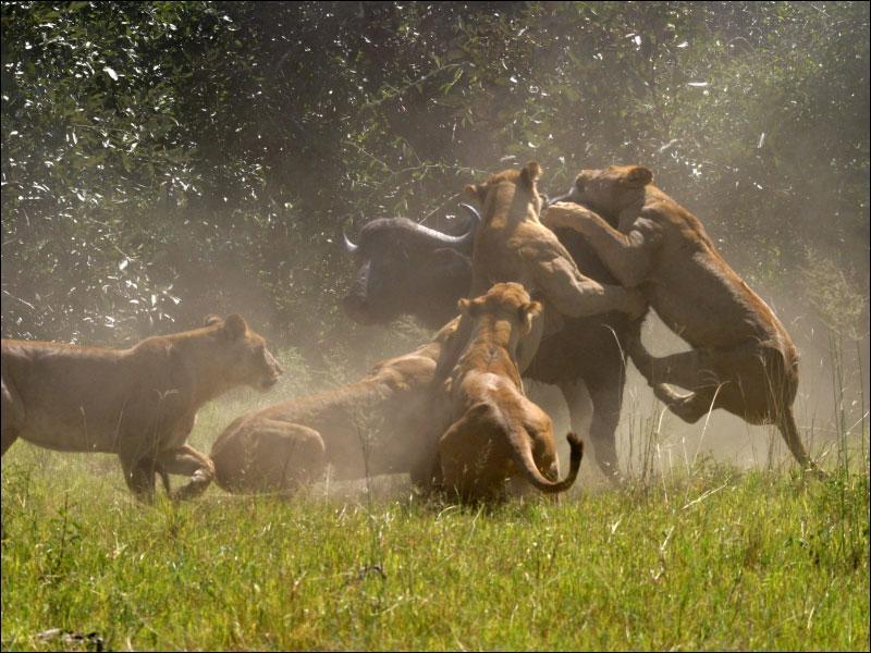 Tu as entrepris de suivre la longue migration des gnous et des zèbres dans le Masaï-Mara africain, et au détour d'une piste, ce spectacle t'est apparu !